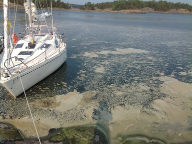 Algblomning, cyanobakterier. Foto Stefan Pettersson CC BY-SA